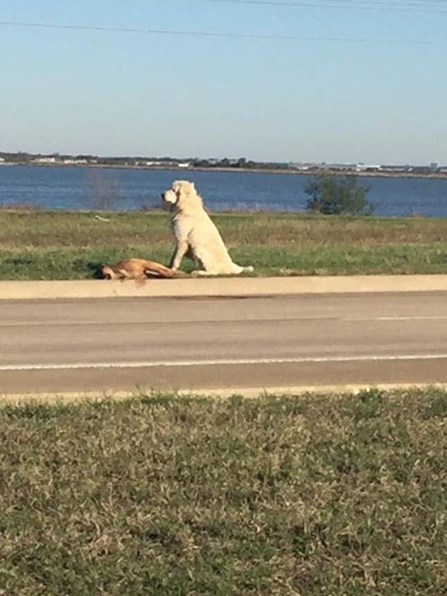 Órákon át őrizte elütött barátját egy kutya