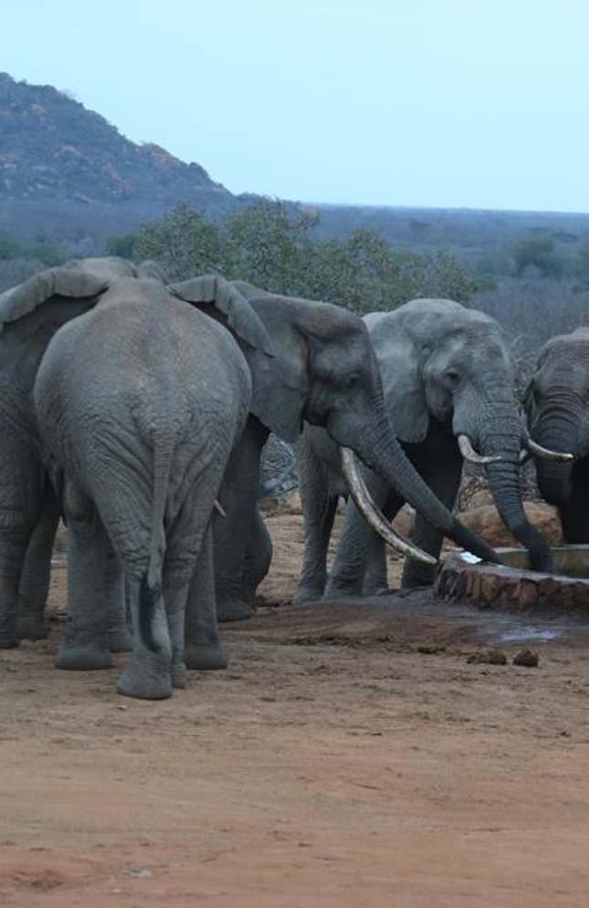 Mérgezett nyíllal meglőtt elefántok