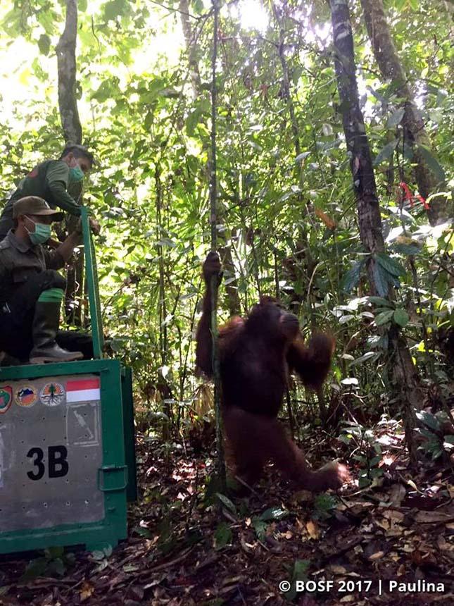 Veszélyeztetett orangutánokat engedtek szabadon