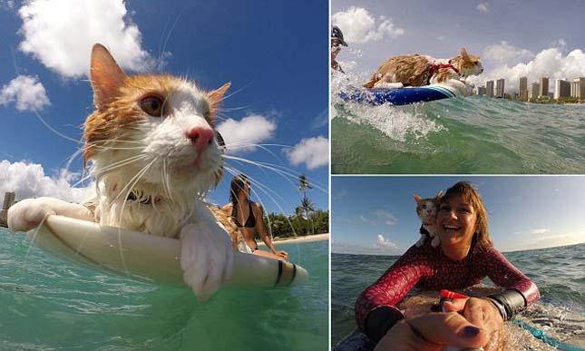 Szörfös macska