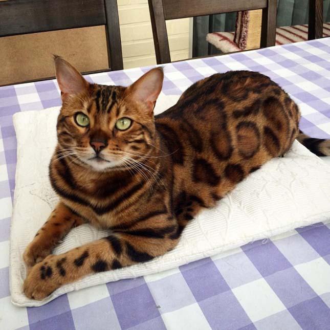 Thor, bengáli macska