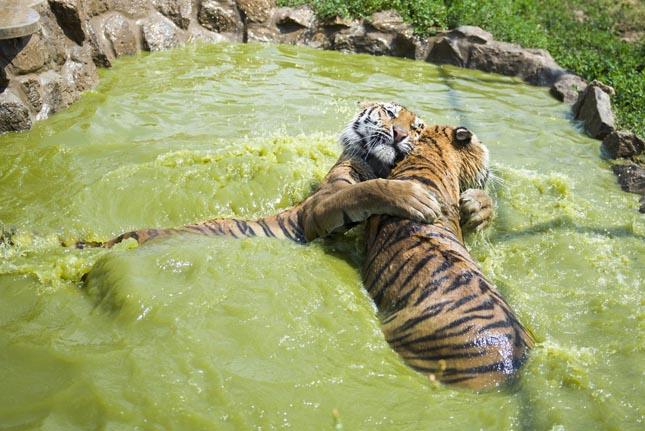 Szibériai tigrisek