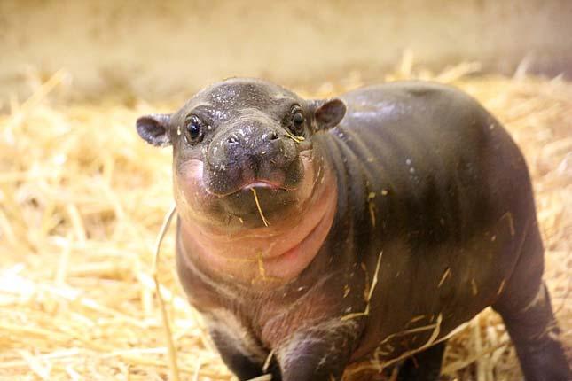 Törpe víziló született egy ausztrál állatkertben