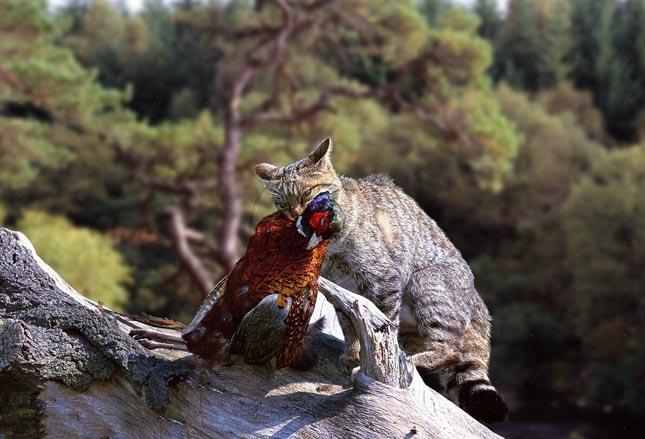 Európai vadmacska - Felis silvestris