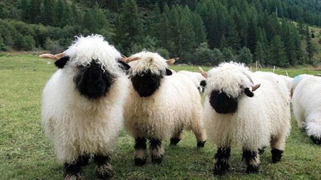 Wallisi feketeorrú juhok