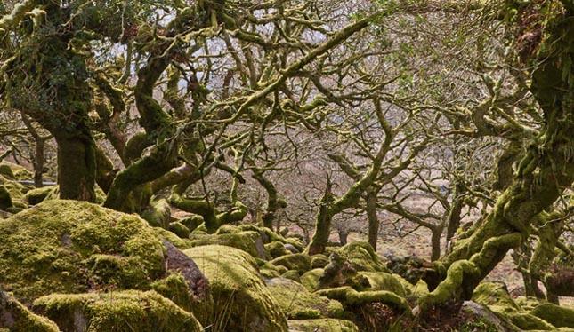 Wistman erdő
