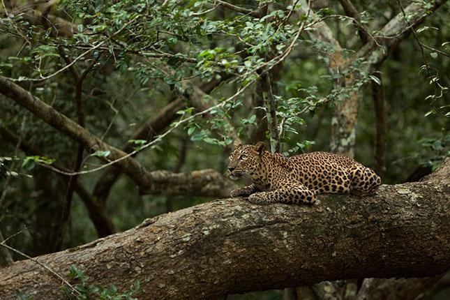 Sri Lankai leopárd