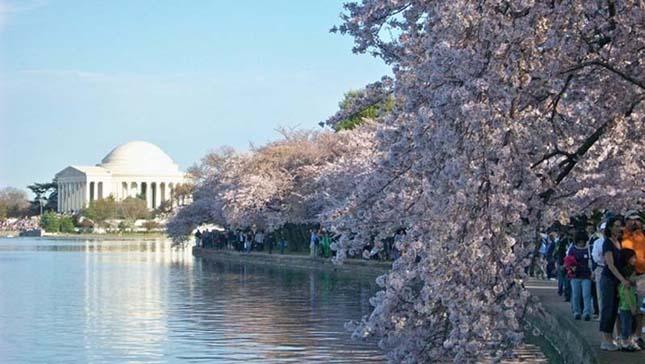 Cseresznye virágok Washington, DC.