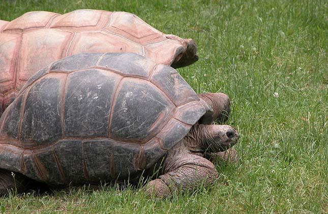 Aldabra teknős