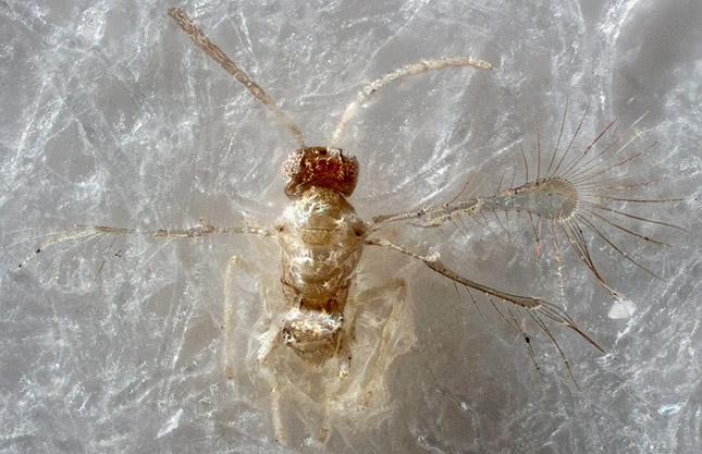 Mikroszkopikus méretű légy