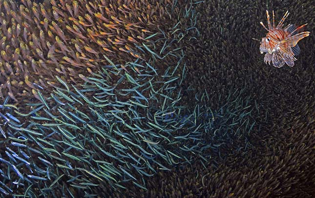Lionfish feeding on SIlversides Pterois Volitans Red Sea, Egypt