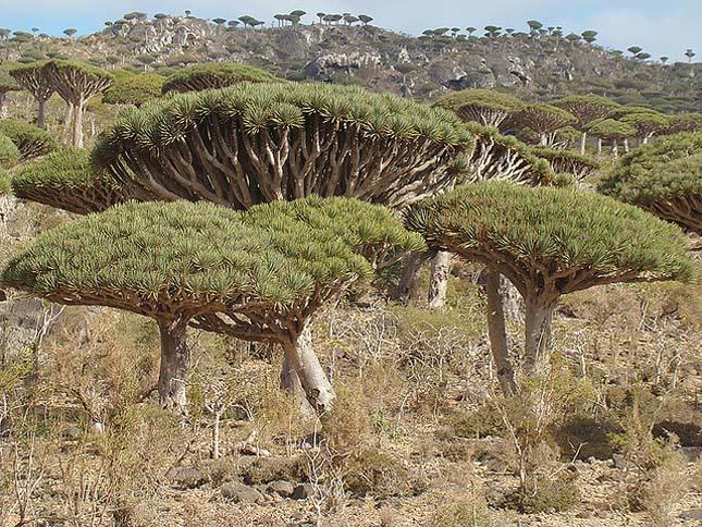 Socotra Sárkányfa