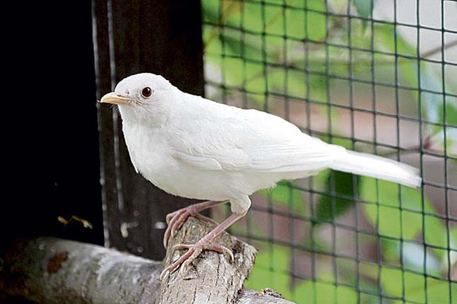 fehér rigó