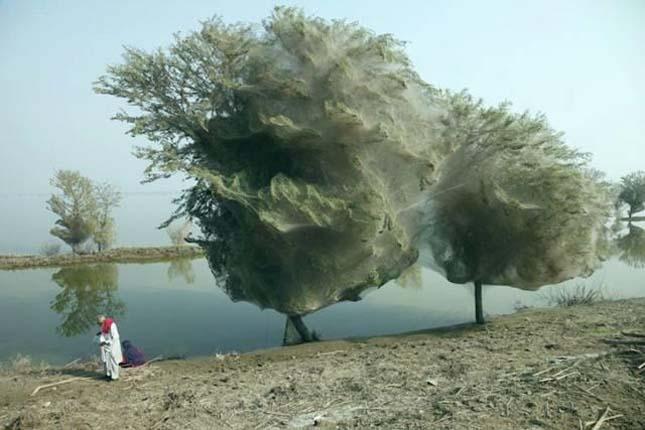 Pókhálóval beszőtt fa