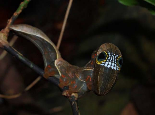 Phyllodes imperialis