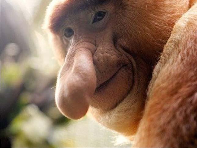 Borneói nagyorrú majom