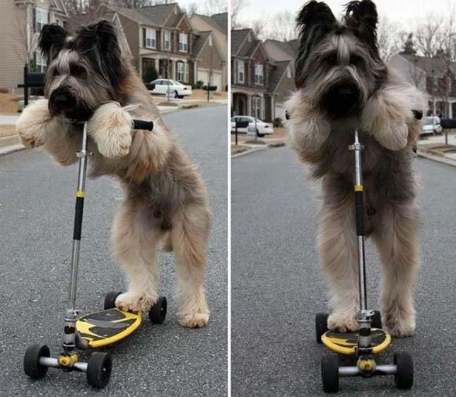 Norman a rollerező kutya