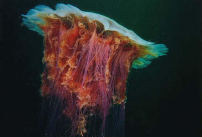 Elözönlötték a medúzák Anglia partjait