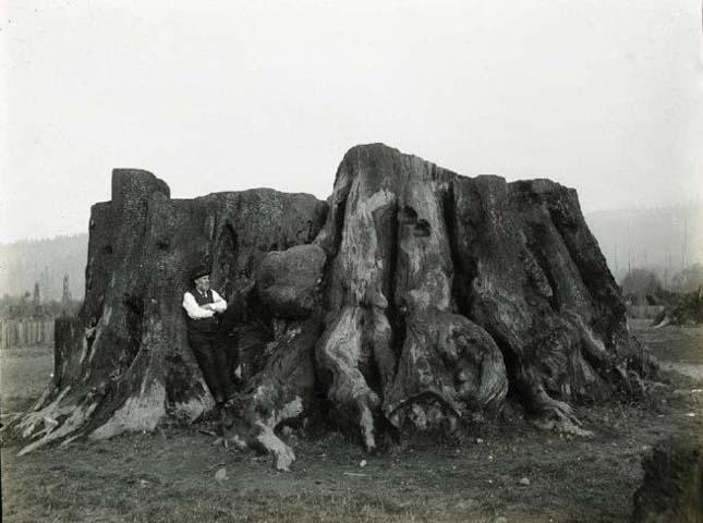 A világ legnagyobb fája