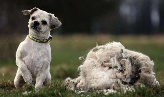 kóbor kutya fodrász után