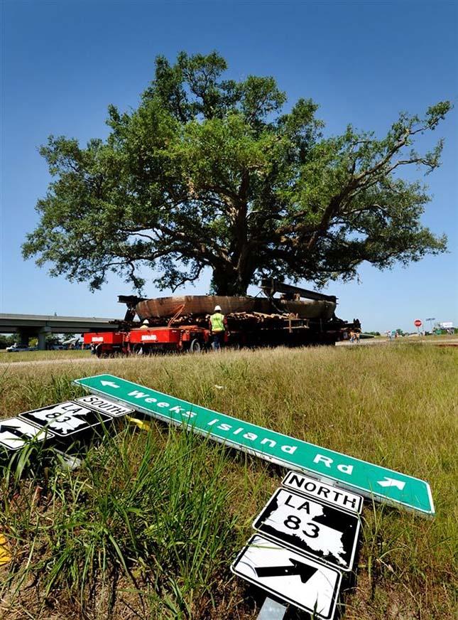 150 éves fa költöztetése