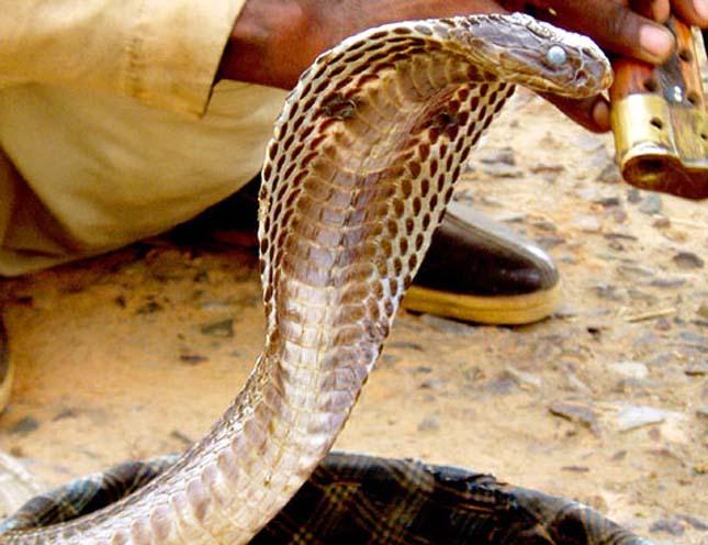 Indiai kobra