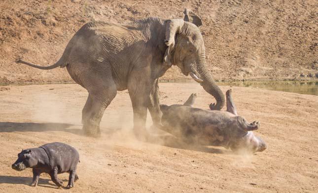elefánttámadás