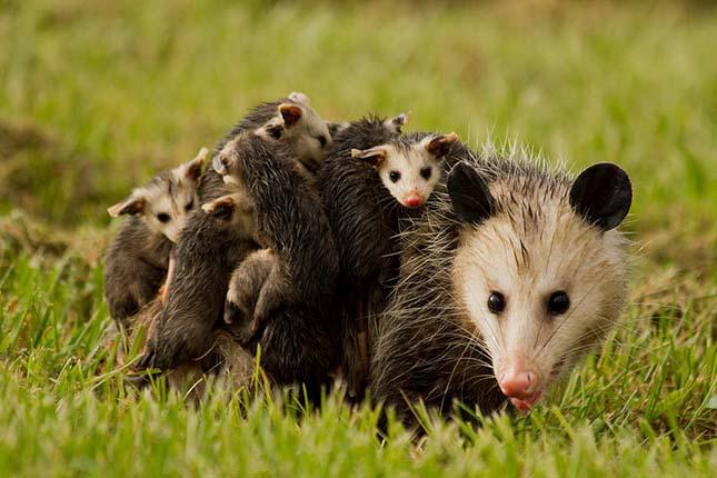 opossum-csalad