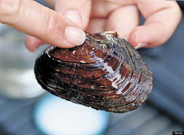 Észak-Amerika-éti-kagylói