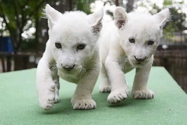 Fehér oroszlánok érkeztek az abonyi állatkertbe