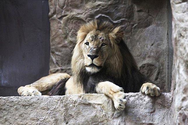 oroszlan2