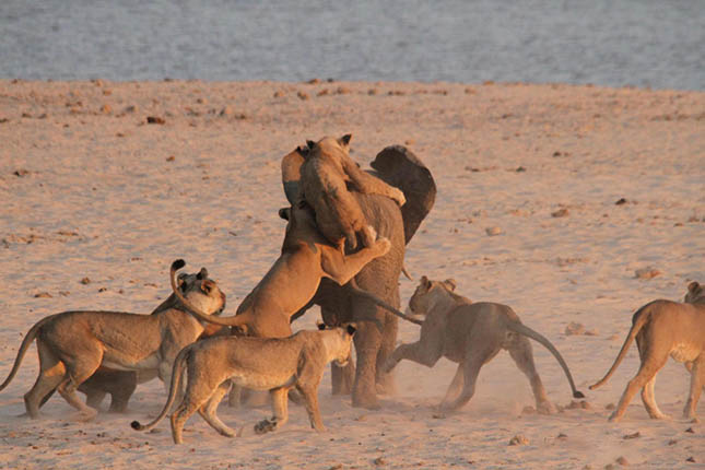 lions-attack-elephant