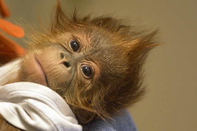 Angli·ba viszik az el·rvult orangut·n kˆlykˆt
