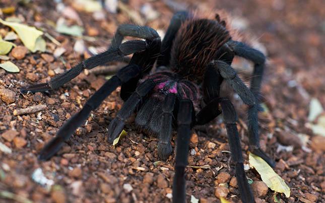 tarantula-white