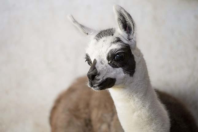 Láma született a Gyöngyösi Állatkertben