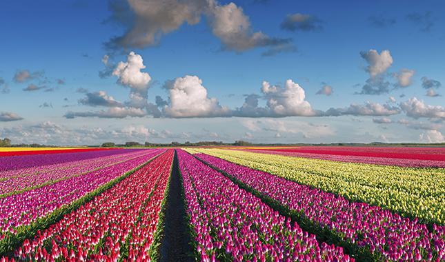 tulipanmezo