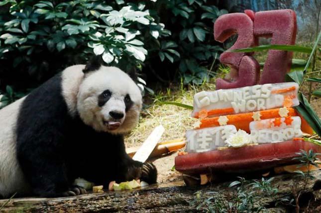 legidosebb-panda-2