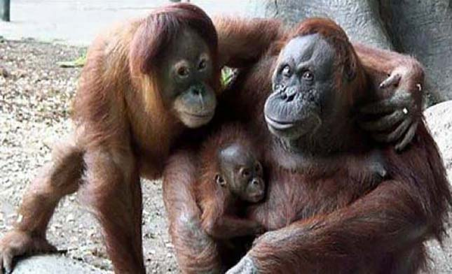 orangutanok