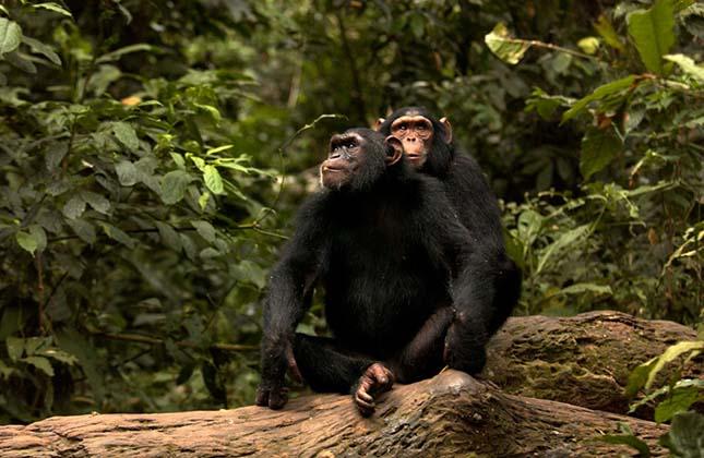 csimpanz-rezervatum