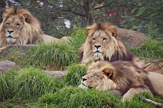 oroszlanok