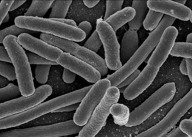 bakterium