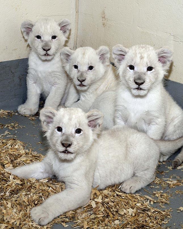 albino-oroszlanok