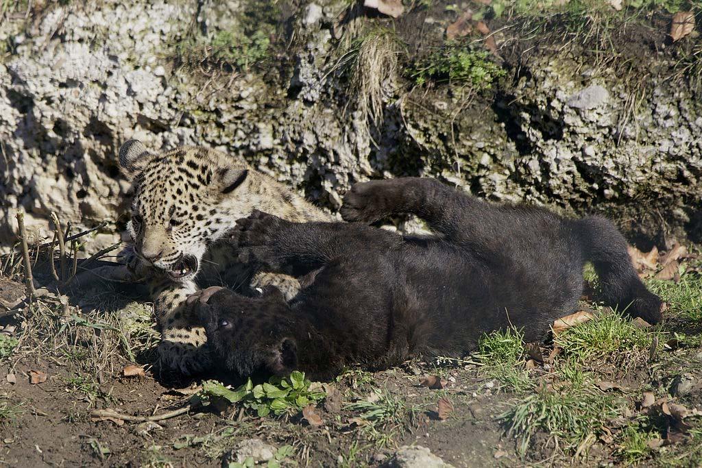 jaguar-pottyos-es-fekete