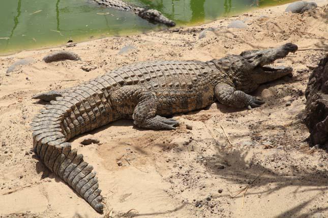 Az emberekre is nagy veszélyt jelentő nílusi krokodilokat találtak a  floridai mocsárvidéken | Érdekes Világ