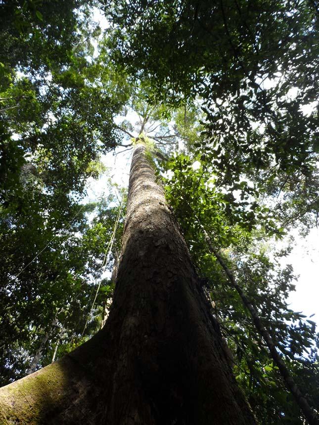 legmagasabb-tropusi-fa