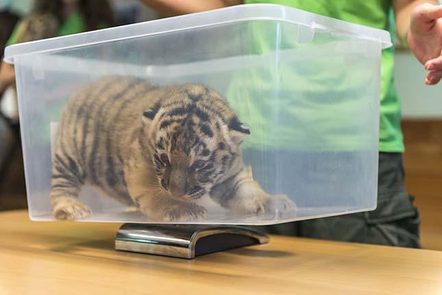 Szibériai tigrisek születtek a veszprémi állatkertben