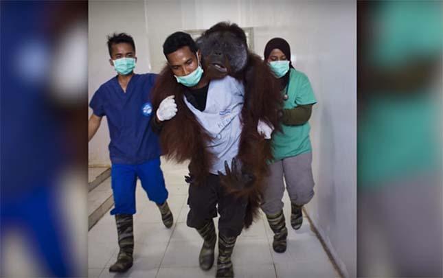 orangutan-5