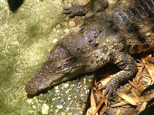 krokodil-6