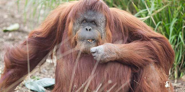 orangutan-2