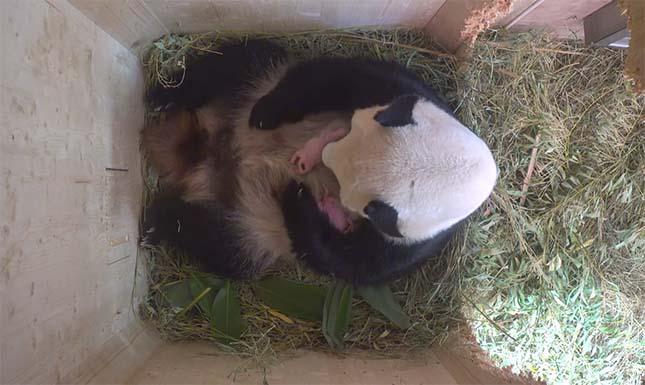 pandabocsok